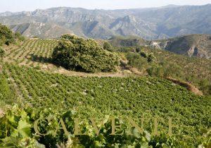 Viñedos de Bodegas H. Calvente - Sabor Granada