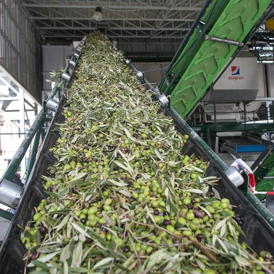 Aceitunas en máquinas de la Almazara Campopineda - Sabor Granada