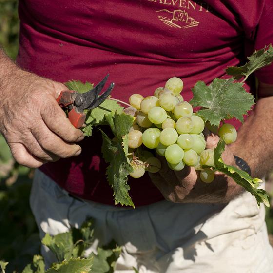 Uvas de Bodegas H. Calvente - Sabor Granada