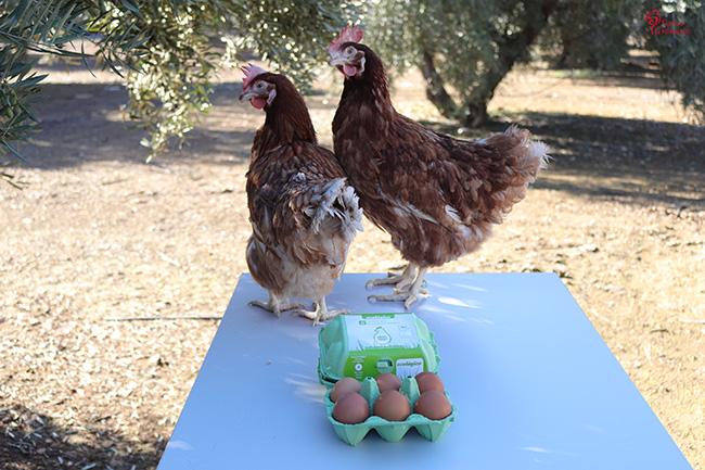 Dos gallinas de Huevos Garrido - Sabor Granada