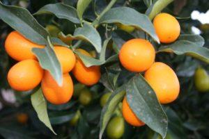 Kumquat Dekúm - Sabor Granada