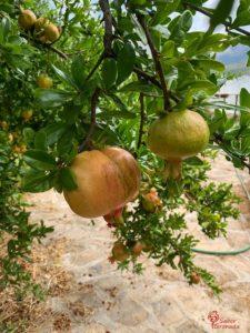 Plantación de frutas para mermelada de Plain and Simple - Sabor Granada