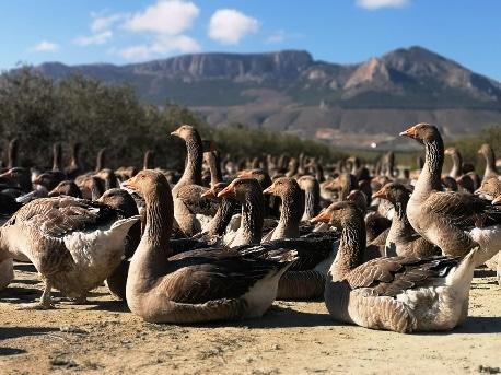 Ocas en libertad de Granja de ocas Jabalcón - Sabor Granada