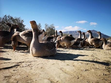 Ocas en libertad con montañas de fondo de Granja de ocas Jabalcón - Sabor Granada