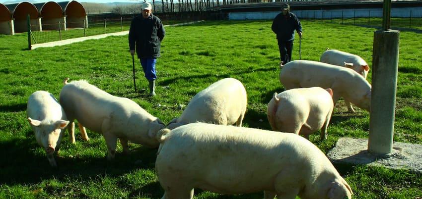 Cerdos de Jamonzar - Sabor Granada