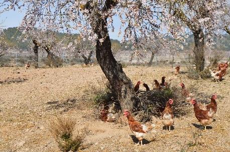 Gallinas en libertad de Huevos Garrido en plano abierto - Sabor Granada